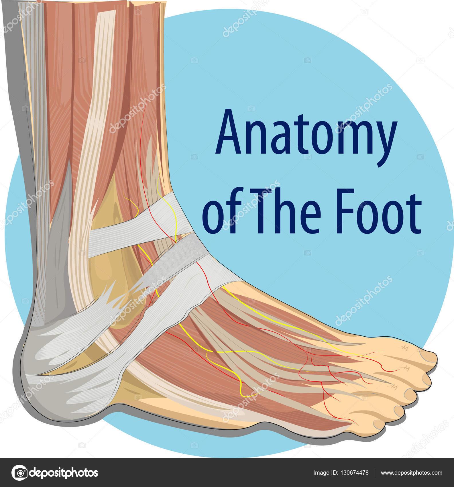 Anatomía del pie — Archivo Imágenes Vectoriales © magemasher #130674478