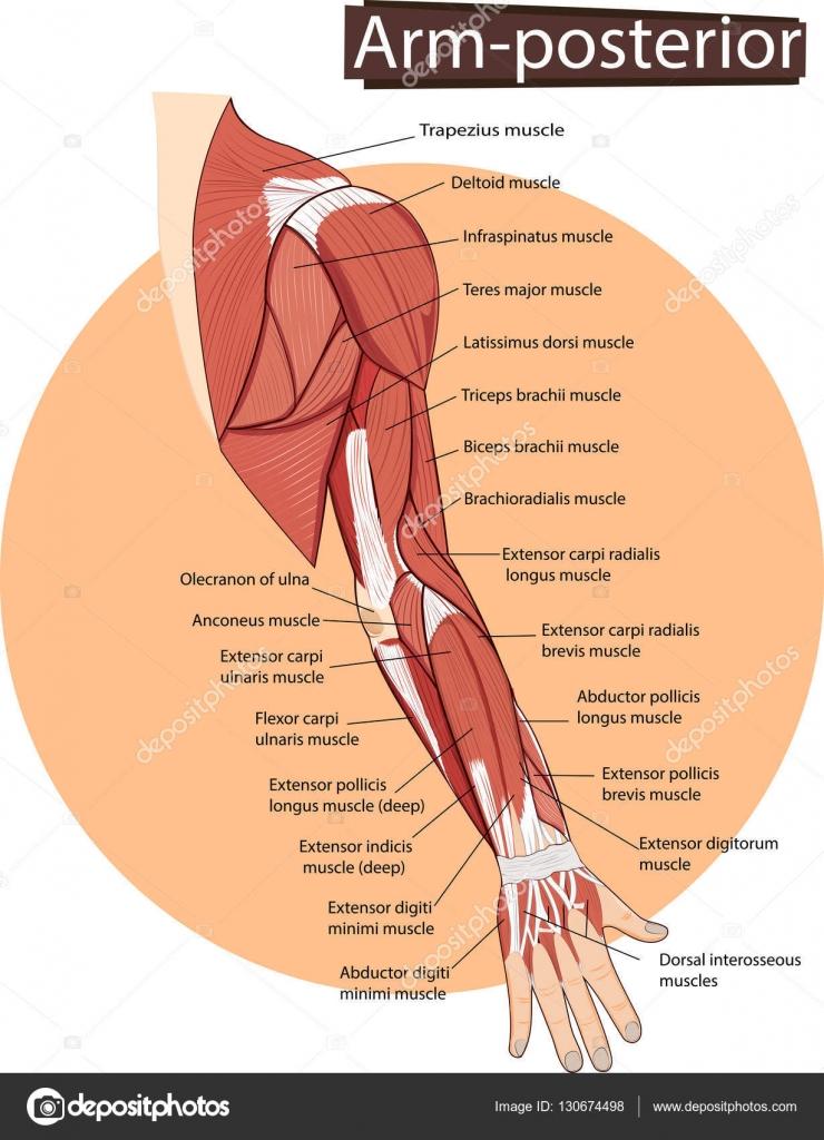Vector de la anatomía del brazo — Archivo Imágenes Vectoriales ...