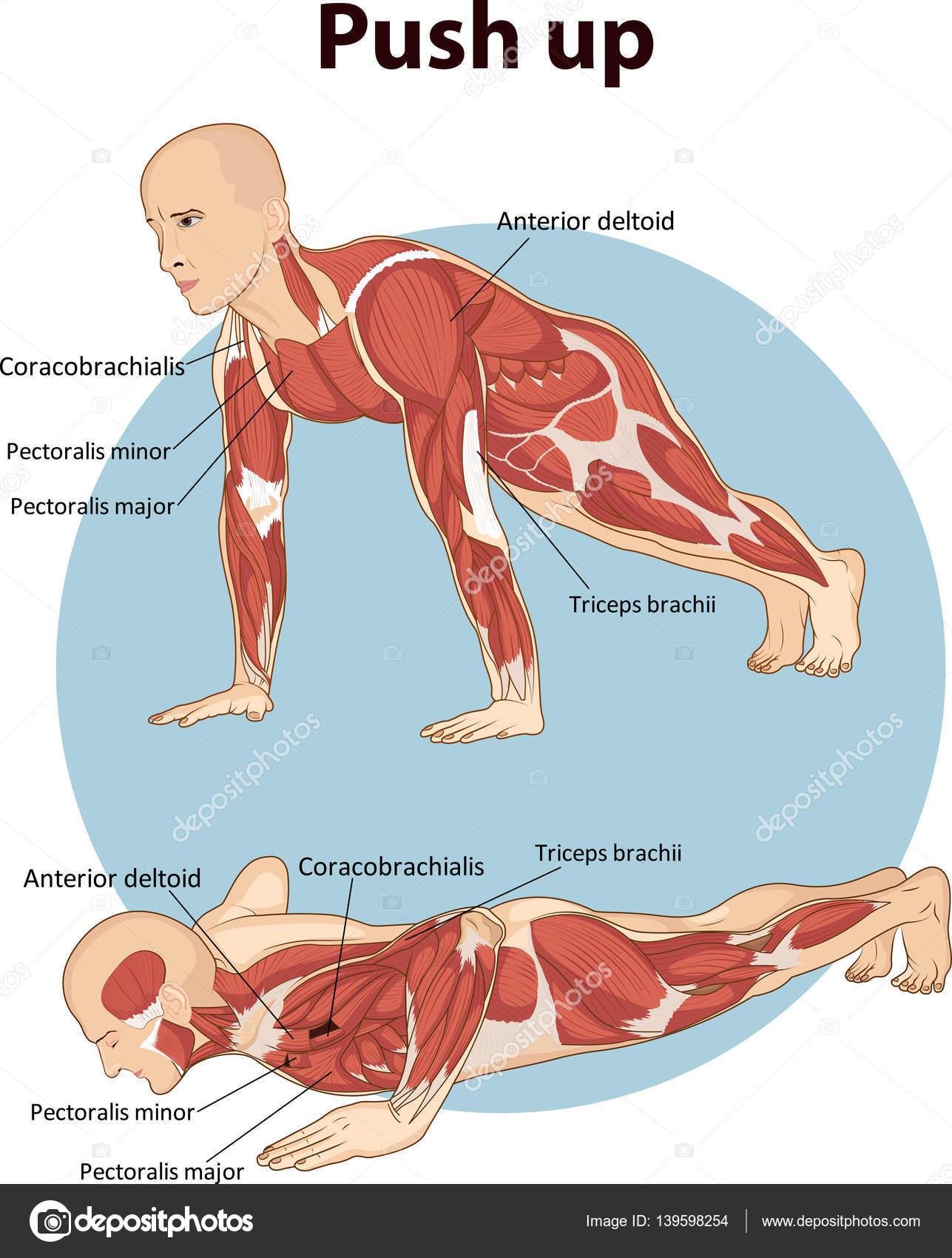 Ilustración Vector Empuje Por Anatomía Muscular — Vector de stock ...