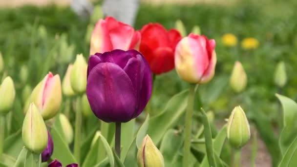 Červené a fialové kvetoucí tulipány na jaře na zahradě.