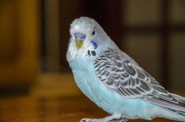 Blue wavy parrot