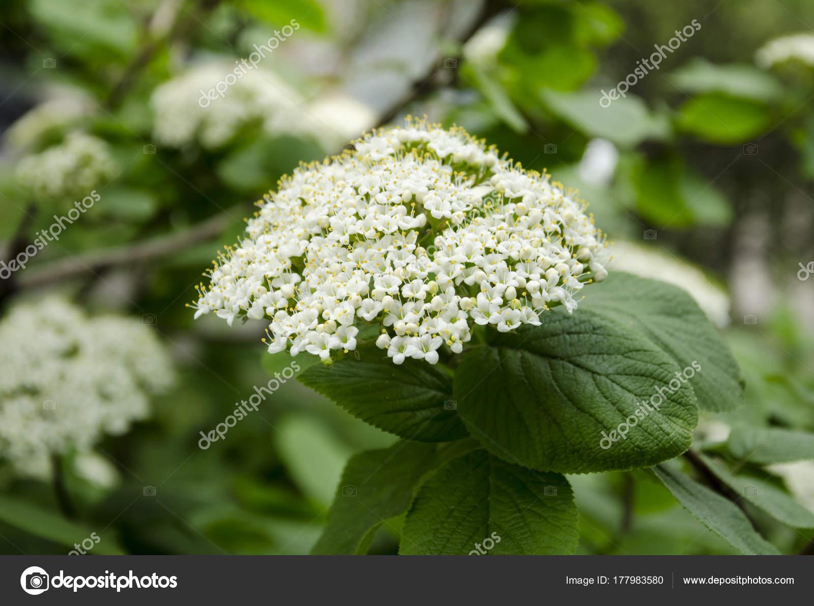 White Bush Inflorescence Stock Photo Victoria2305 177983580