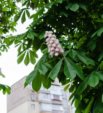Chestnut, horse flowers, with green leaves on a warm spring day, close-up