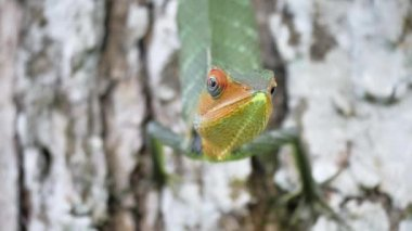 close-up of wild agamid lizard on tree of Tropical island on coast of Sri Lanka