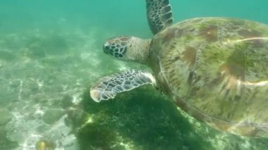 close-up of Turtle Underwater in ocean clean water