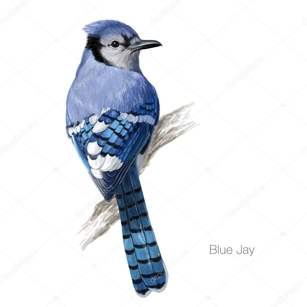 Blue jay hand drawn illustration