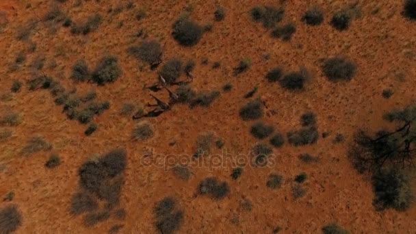 Žirafí rodinka oděrek v savannah Namibie