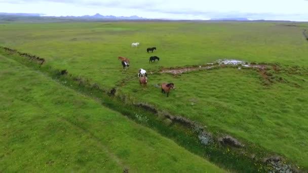 Izlandi Lovak séta a mezőket. Andrejev