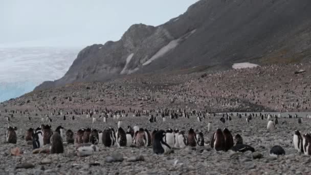 A flock of penguins near the mountains in Antarctica. Andreev.