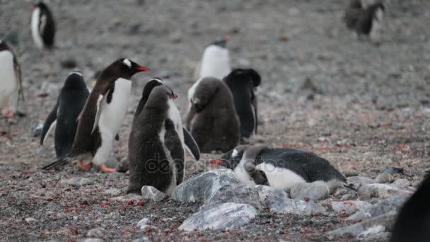 A nyájat a pingvinek pihenni a kavics, a déli-sarkon. Andrejev.