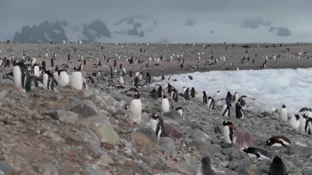 View of a large number of Antarctic penguins. Andreev.
