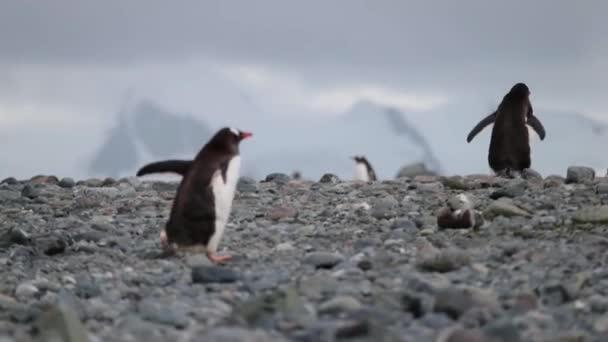 Due pinguini salgono i ciottoli. Andreev