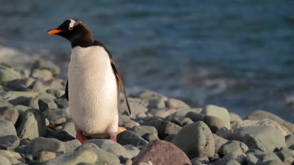 The penguin stands near the water and cleans the feather. Andreev.