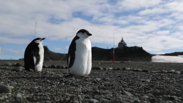 Dvou živých tučňáků stojí na pláži z oblázků. Andreev