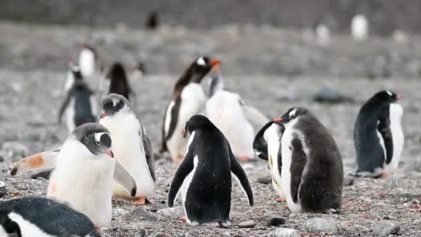 Penguins stát a podívat se na jejich hejna. Andreev.
