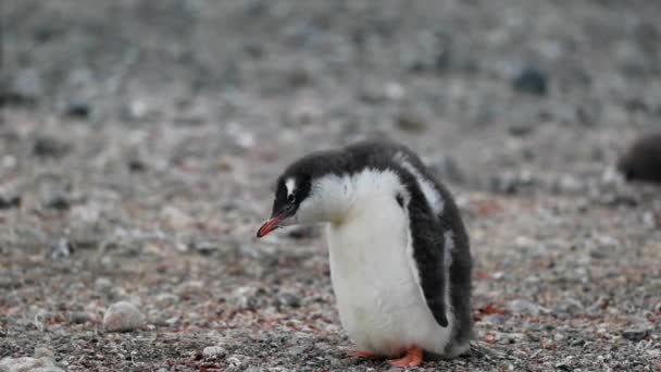 A pingvin néz a földre. Andrejev.