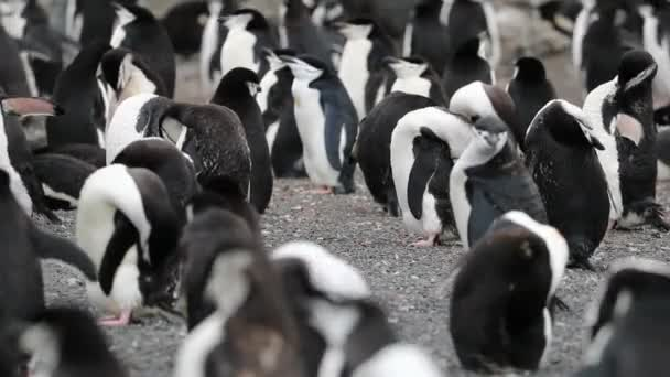 Antarctic penguins clean their feathers in the pack. Andreev.