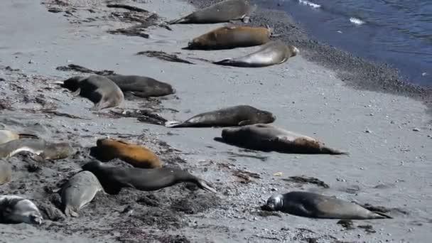 Eine Herde Von Robben Am Strand Unter Der Sonne Liegen Andreev