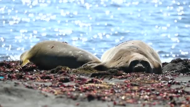 Seals lie on the beach close up. Andreev.