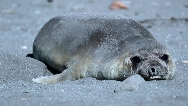 The seal lies in gray sand. Andreev.
