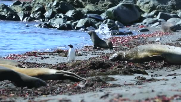 Penguin among the seals on the beach. Andreev.