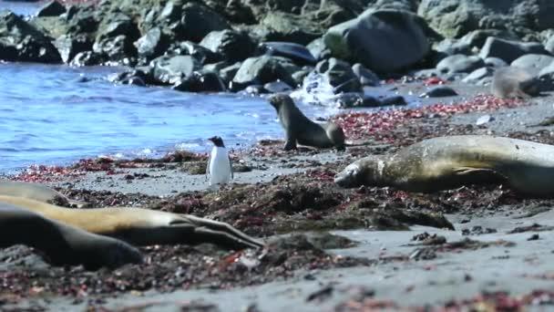 Pingvin, a fókák és a strand között. Andrejev.