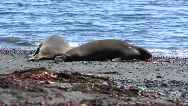 Two seals lie near the water on the beach. Andreev.