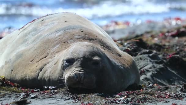 Close-up of a resting seal on the beach. Andreev.
