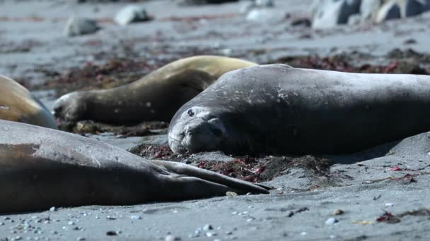 Seals lie on the beach among the algae. Andreev.