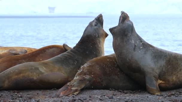 Robben heben die Köpfe und schreien. andreev.