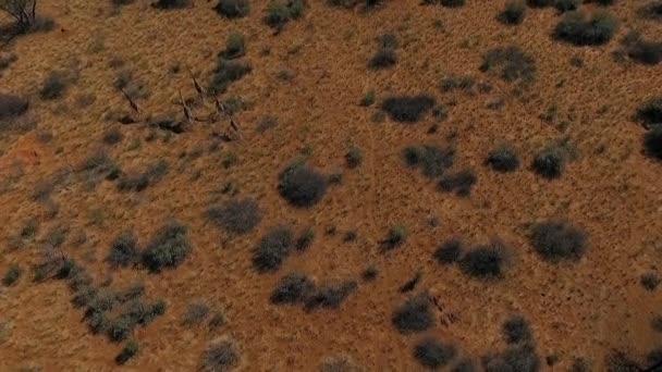 Stádo žiraf běží přes savany