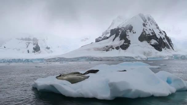 Hejno těsnění leží na povrchu plovoucí ledovce. Andreev.