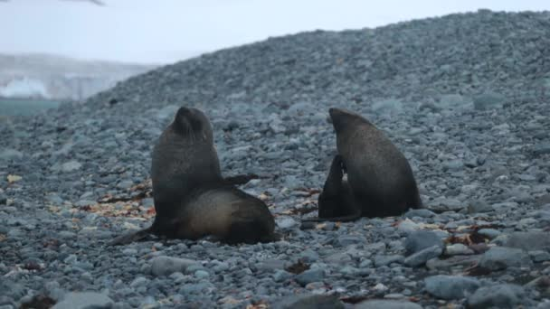 Seals seated on the beach of stones. Andreev.