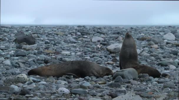Dvě tulení kožešiny plížit podél malé kameny. Andreev.