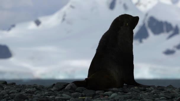Těsnění na skalách na pozadí hory. Andreev.