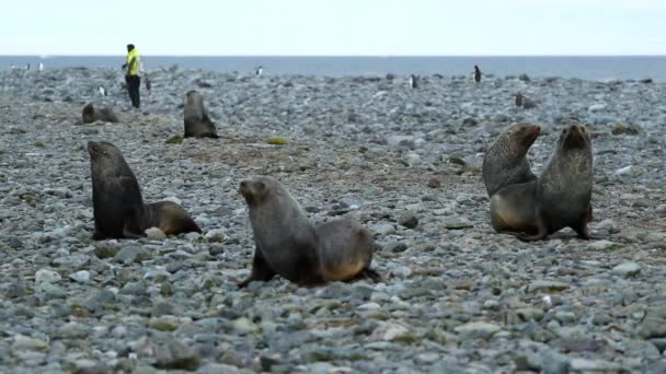 Tömítések és a pingvinek vannak a strandon. Andrejev.