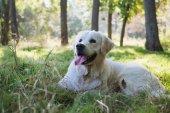 Retriever labrador dog in park