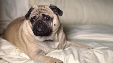 Egy aranyos mopszli kutya meghatározza az ágyban, fáradt, lusta