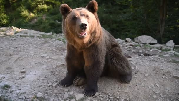 Brown bear Ursus arctos in nature. In  National natural preserve Synevyr of Ukraine.