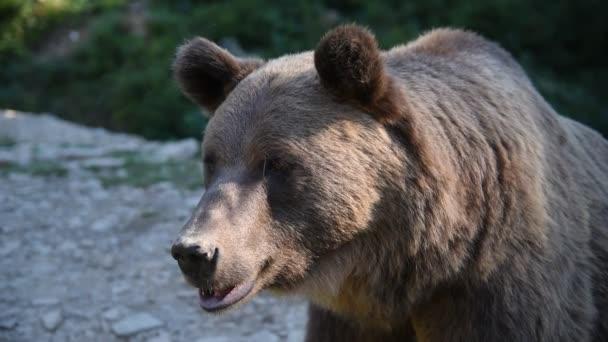 Barna medve Ursus arctos a természetben. A nemzeti természeti rezervátum Synevyr Ukrajna.