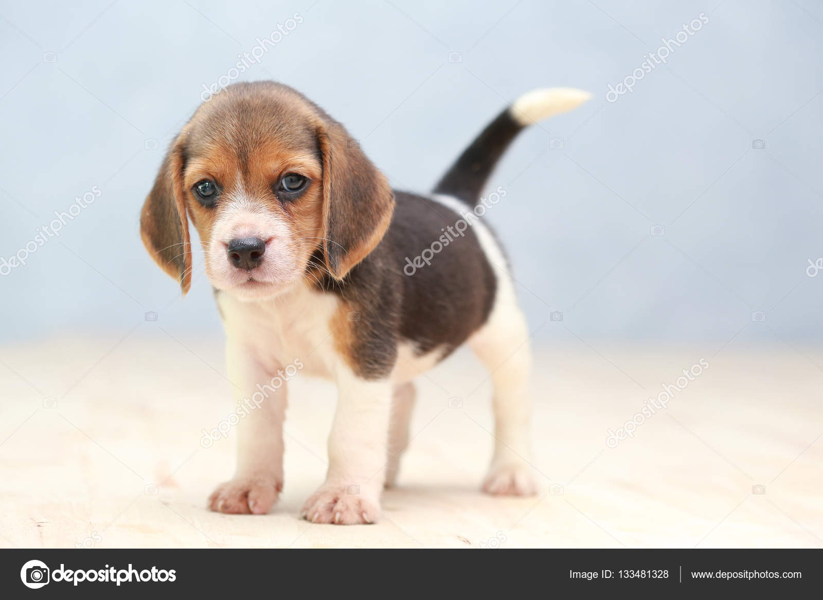 Wonderful Small Beagle Adorable Dog - depositphotos_133481328-stock-photo-small-cute-beagle-puppy-dog  Photograph_586164  .jpg