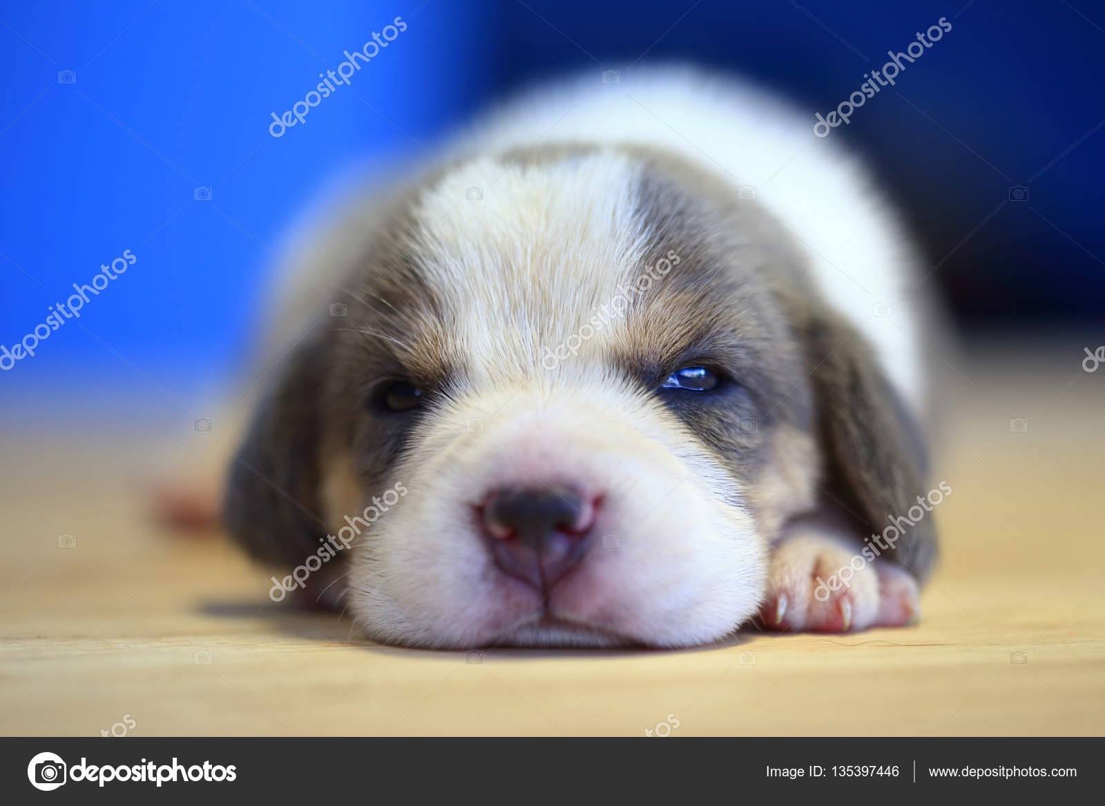 1 Month Year Old Beagle Puppy Silver Tri Color Is Sleeping Stock Photo C S Thanawathreborn Gmail Com 135397446