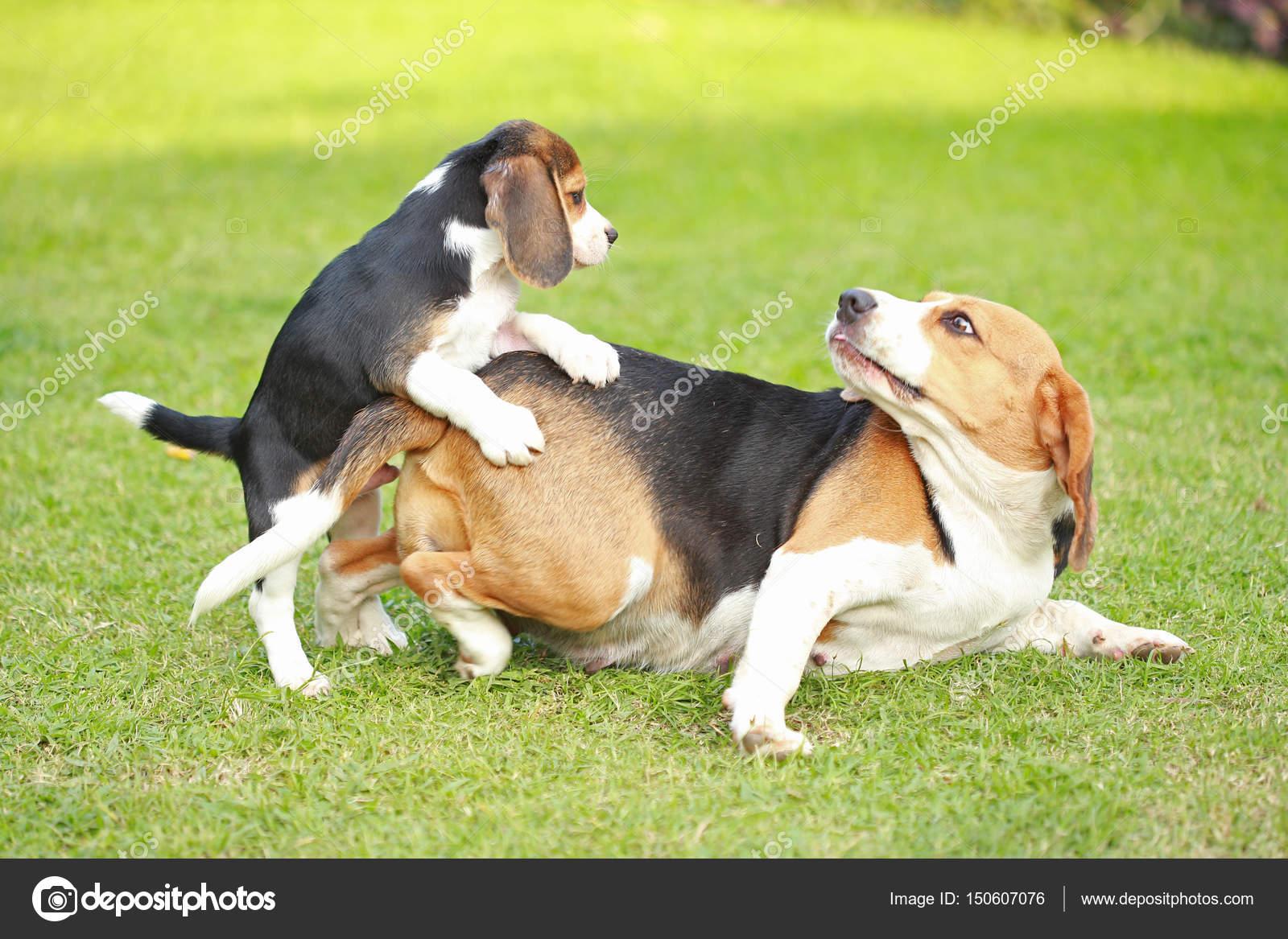 Adulte de race pure et chiot beagle chien jouent dans la - Beagle adulte ...