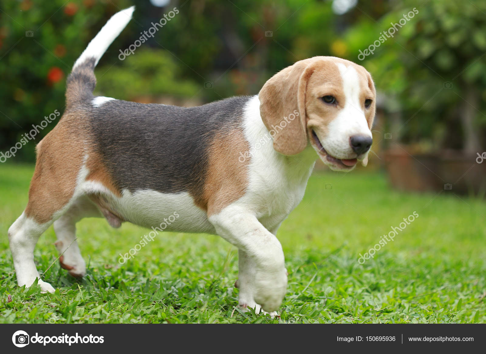 strong male silver tri color beagle dog — Stock Photo © S ...