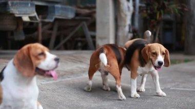 purebred beagle dog are breeding, dog mating