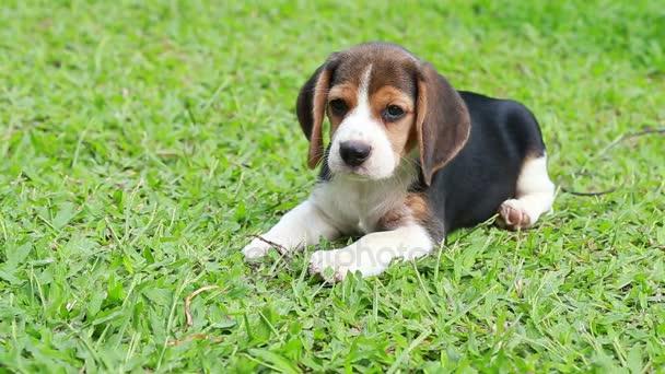 cane di razza beagle cercando qualcosa