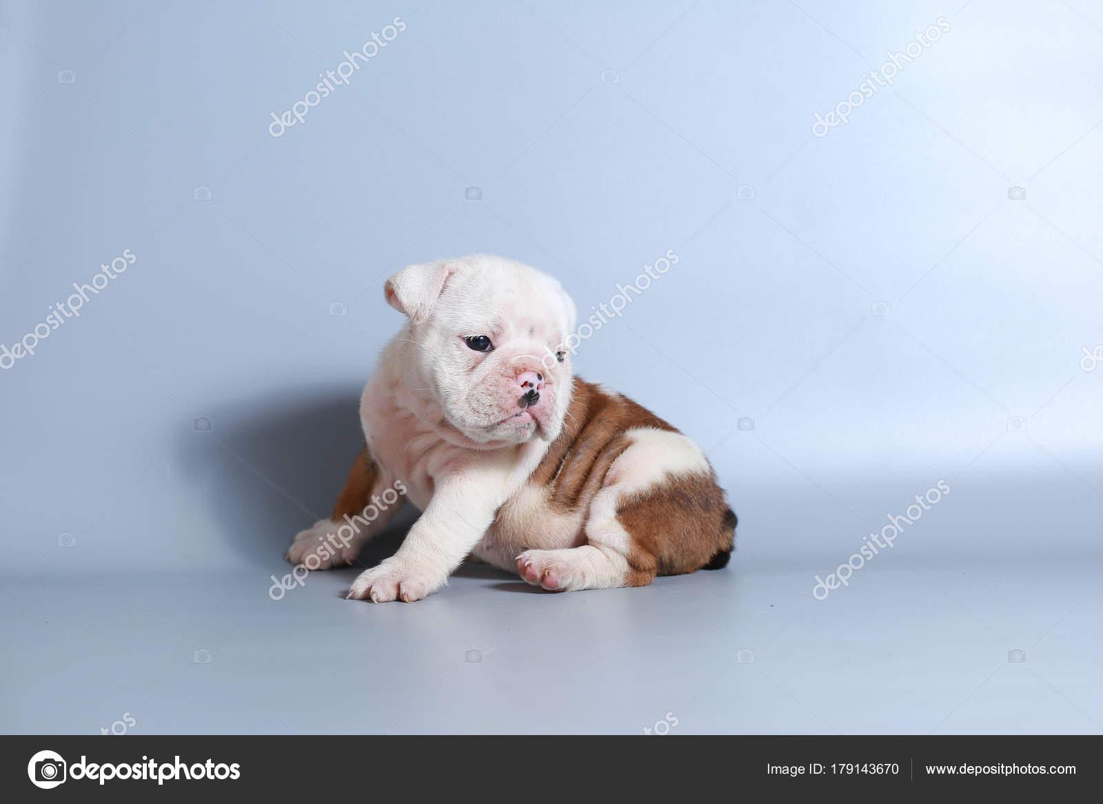 Month Purebred English Bulldog Puppy Gray Screen Stock Photo C S Thanawathreborn Gmail Com 179143670