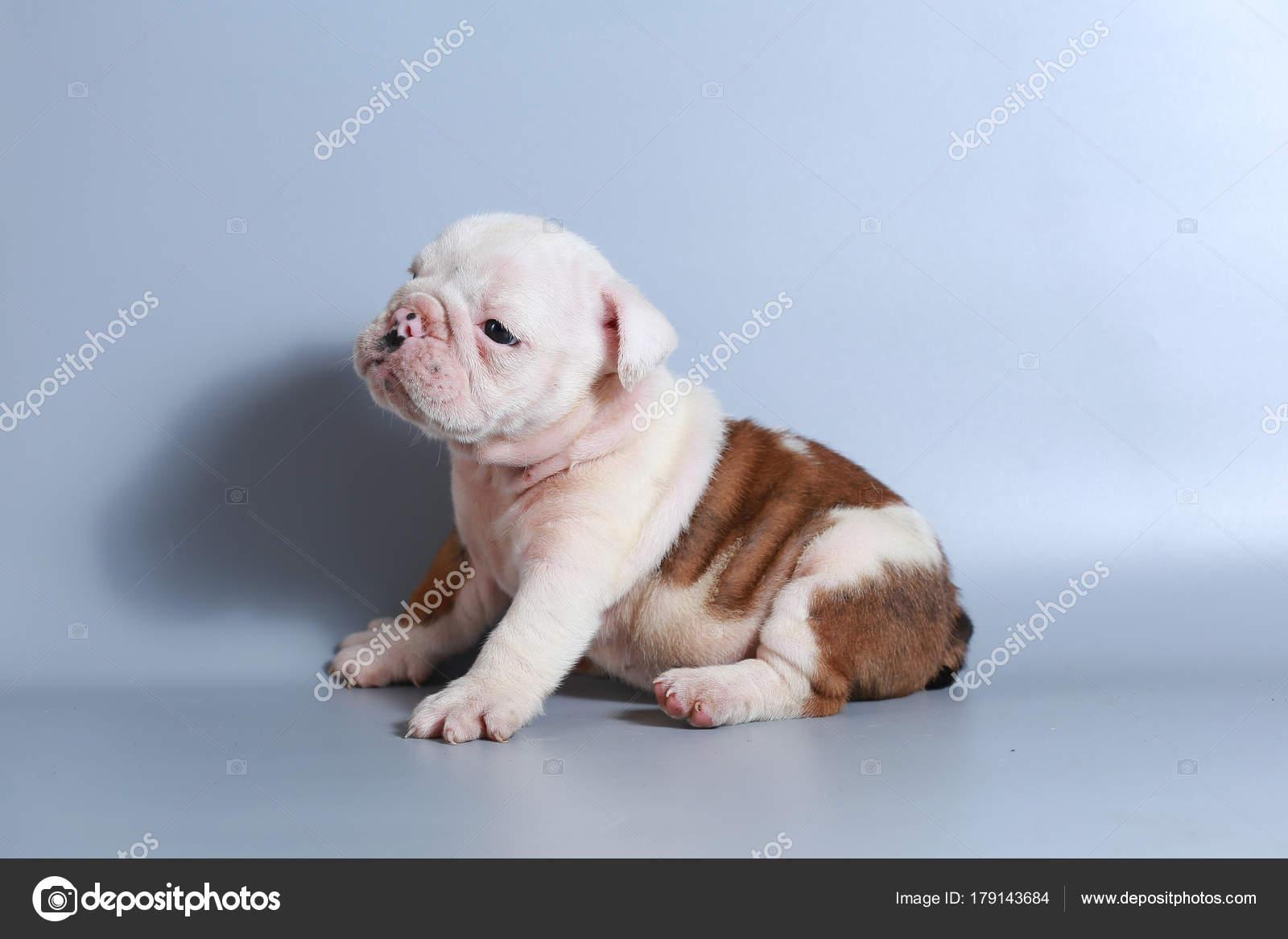 Month Purebred English Bulldog Puppy Gray Screen Stock Photo C S Thanawathreborn Gmail Com 179143684