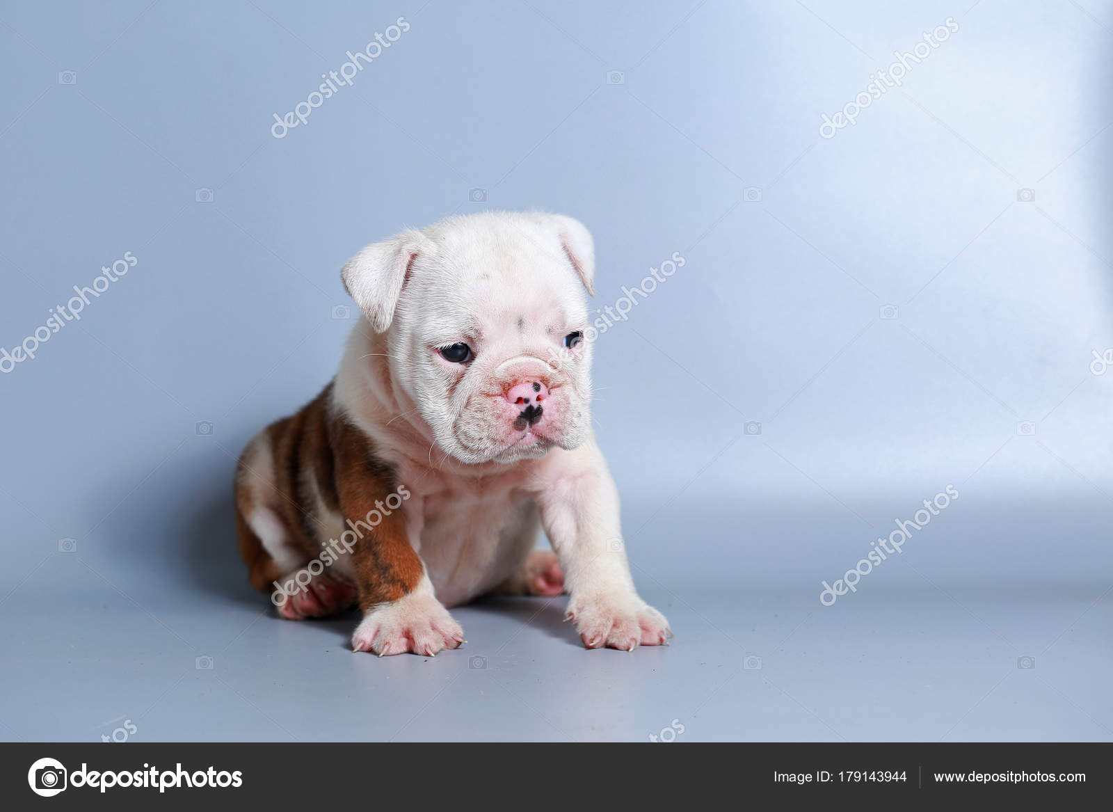 Month Purebred English Bulldog Puppy Gray Screen Stock Photo C S Thanawathreborn Gmail Com 179143944