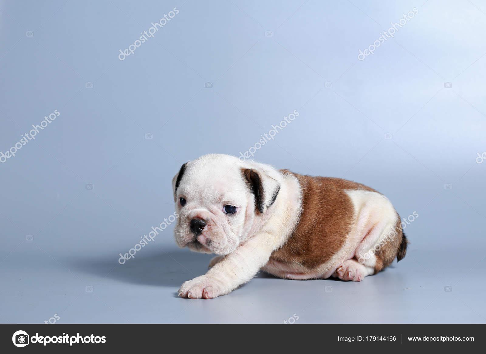 Meses Raça Bulldog Inglês Filhote Cachorro Tela Cinza Stock Photo